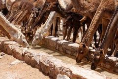 Kamel på öknen 2 arkivbild