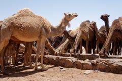 Kamel på öknen 3 royaltyfri fotografi