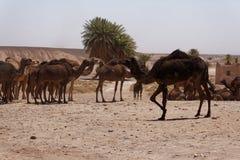 Kamel på öknen 6 royaltyfria foton