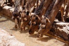 Kamel på öknen 7 fotografering för bildbyråer