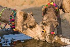 Kamel på den Pushkar mässan i Rajasthan, Indien Royaltyfri Fotografi