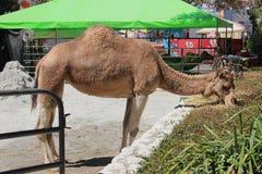 Kamel på den ståndsmässiga mässan för LA arkivbilder