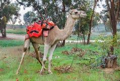 Kamel på en bakgrund av röda anemoner Fotografering för Bildbyråer