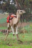 Kamel på en bakgrund av röda anemoner Arkivbilder