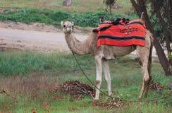 Kamel på en bakgrund av röda anemoner Royaltyfri Foto