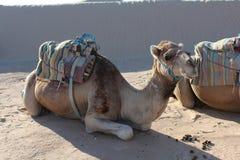 Kamel på ett husvagnläger arkivfoton