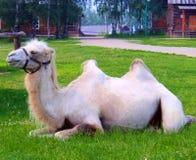 Kamel på gräset Arkivfoto