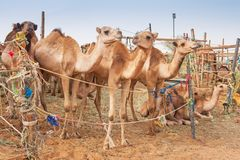 Kamel på kamelmarknaden i Al Ain Arkivfoto