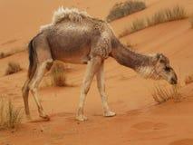 Kamel på Merzouga, Marocko royaltyfria foton