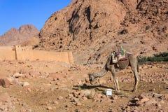 Kamel på monteringen Moses Arkivfoto