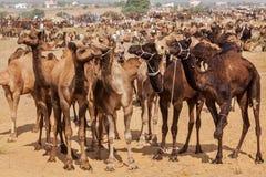 Kamel på Pushkar Mela (den Pushkar kamelmässan), Indien royaltyfri bild