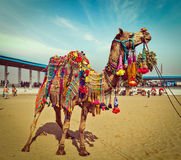 Kamel på Pushkar Mela, Rajasthan, Indien Royaltyfria Bilder