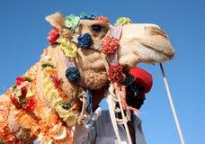 Kamel på safari Arkivbild