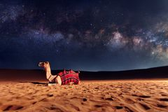 Kamel på sanden i öken royaltyfri bild