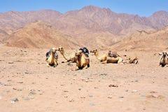 Kamel på Sinai berg, Egypten Royaltyfri Bild