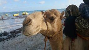 Kamel på stranden Royaltyfria Bilder