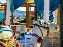 Kamel på stranden Fotografering för Bildbyråer