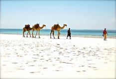 Kamel på stranden Royaltyfri Fotografi