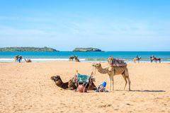 Kamel på stranden i Essaouira Arkivfoton
