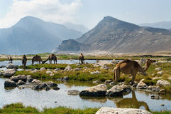Kamel på stranden, Oman Arkivbild
