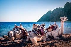 Kamel på tipsen Dahab för strand tre royaltyfri bild