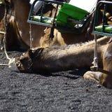 Kamel på vulkan Fotografering för Bildbyråer