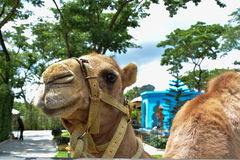 Kamel på zoo arkivfoton