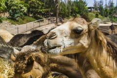 Kamel på zoo Arkivfoto