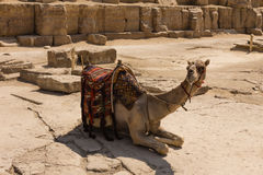 Kamel på den Giza pyramiden, cairo i Egypten Fotografering för Bildbyråer