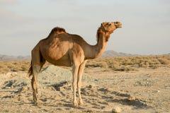 Kamel på en öken Royaltyfria Bilder