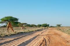 Kamel på vägen Fotografering för Bildbyråer