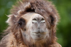 Kamel-Portrait Stockbild
