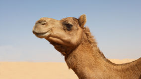 Kamel-Portrait Lizenzfreies Stockfoto