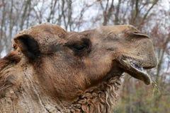 Kamel-Profil Lizenzfreie Stockbilder