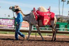 Kamel Racing i Phoenix, Arizona Fotografering för Bildbyråer