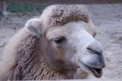 Kamel ` s Porträt selfy; - Lizenzfreies Stockbild