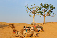 Kamel-Safari Lizenzfreie Stockfotos