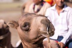 Kamel-Safari Stockbild