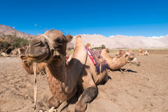 Kamel-Safari Stockbilder