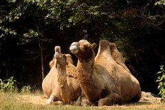 Kamel-Schrei Lizenzfreie Stockbilder