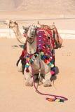 Kamel skepp av öknen - Giza, Egypten Arkivfoto