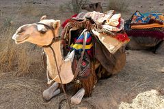 Kamel - som är djup i öknen arkivbild