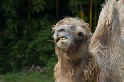 Kamel som äter gräs Royaltyfri Fotografi