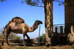 Kamel som binds till ett träd Arkivbild