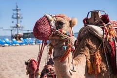 Kamel som dekoreras med borstar och prydnader i nationell stil royaltyfri foto