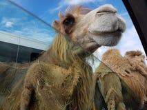 Kamel som försöker att få någon mat från vår bil royaltyfria foton