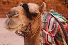 Kamel som framme poserar av kassan i Petra, Jordanien royaltyfri bild