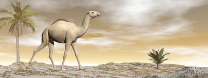 Kamel som går - 3D framför royaltyfri illustrationer