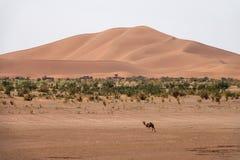 Kamel som går nära stora dyn i öken Royaltyfri Foto
