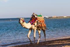 Kamel som går på stranden Royaltyfria Foton